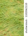 Small photo of Green long grass bent and twirled by strong winds.