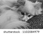 Fluffy Pomeranian Dog Laying On ...