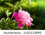 pink peonies in the garden....   Shutterstock . vector #1102113890