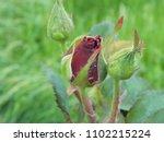 rose flower. roses. beautiful...   Shutterstock . vector #1102215224