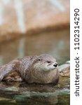 a north american river otter... | Shutterstock . vector #1102314290