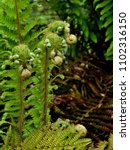 Small photo of Young Fern Leaves Polypodiopsida