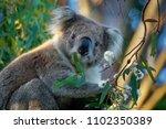 koala   phascolarctos cinereus...   Shutterstock . vector #1102350389