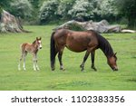 Mother New Forest Pony And Baby ...