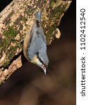 Small photo of nuthatch [genus Sitta]