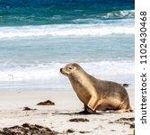 cute funny australian sea lion  ... | Shutterstock . vector #1102430468