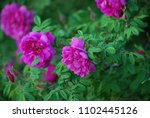 Blooming Pink Wild Rose Fluffy. ...