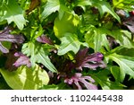 Small photo of Organic home grown green salad leaf. Grow your own salad green