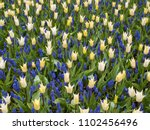 yellow tulips and  blue...   Shutterstock . vector #1102456496