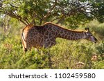 a portrait image of a south... | Shutterstock . vector #1102459580