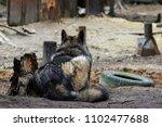 cross between an wolf canis... | Shutterstock . vector #1102477688