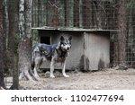 cross between an wolf canis... | Shutterstock . vector #1102477694