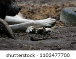 cross between an wolf canis... | Shutterstock . vector #1102477700
