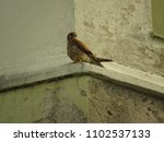 common kestrel  falco... | Shutterstock . vector #1102537133