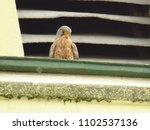 common kestrel  falco... | Shutterstock . vector #1102537136