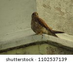 common kestrel  falco... | Shutterstock . vector #1102537139