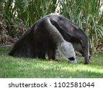 anteater in the grass | Shutterstock . vector #1102581044