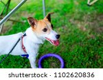jack russell terrier playing... | Shutterstock . vector #1102620836