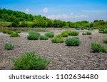 Landscape Plant Growing In Ari...