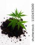 cannabis plant in soil on white ... | Shutterstock . vector #1102652600