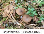 Small photo of Group of small brown fruitbodies of Entoloma vernum, the Spring Pink Gill mushrooms, growing in pine forest in spring
