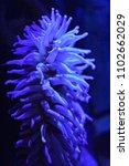 blue sea anemone marine life   Shutterstock . vector #1102662029