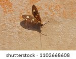 the amah moth at rest in the... | Shutterstock . vector #1102668608