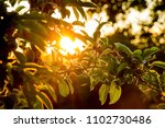Sunset In Garden. Rays Of The...