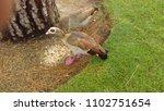 wild egyptian geese | Shutterstock . vector #1102751654