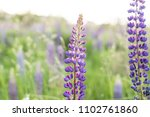 lupine field with pink purple... | Shutterstock . vector #1102761860