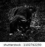 Black cat prepares to leap in black and white