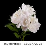 White Peony Flowers Isolated On ...