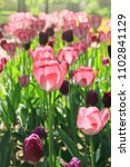 Tulips Blooming In Flower Bed...