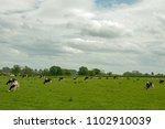 herd of cows grazing in a... | Shutterstock . vector #1102910039