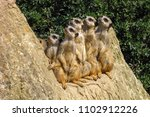 group of watching meerkats... | Shutterstock . vector #1102912226