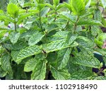 close up spearmint plant and... | Shutterstock . vector #1102918490