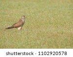 common kestrel bird   Shutterstock . vector #1102920578