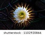 Cactus Queen Of The Night....