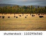 view of beef cattle in pasture... | Shutterstock . vector #1102956560