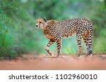 cheetah  acinonyx jubatus ... | Shutterstock . vector #1102960010