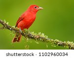 summer tanager  piranga rubra ...   Shutterstock . vector #1102960034