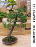 Small photo of MOSCOW, RUSSIA - NOVEMBER 10, 2017: Bonsai - Japanese white pine (Pinus parviflora). Age - about 70 years. Exhibition of Bonsai in Aptekarsky Ogorod (a branch of the Botanical Garden of MSU).