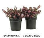 purple heather plant in plastic ...   Shutterstock . vector #1102995509