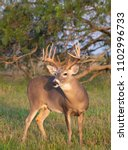 White Tailed Deer In Southern...