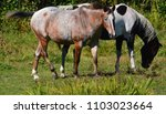 the appaloosa is an american...   Shutterstock . vector #1103023664
