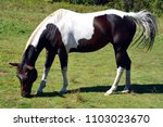 the appaloosa is an american...   Shutterstock . vector #1103023670