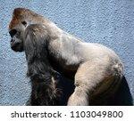 gorillas are ground dwelling ... | Shutterstock . vector #1103049800