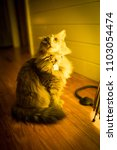 Small photo of Islamorada, FL / USA - 11/15/2017: Fluffy cute cate sitting pretty with big tail beside an green glow interior light with white plank walls & wood floor