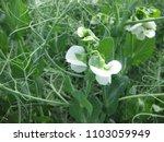 blooming peas in the field.... | Shutterstock . vector #1103059949