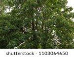 maple tree leaves canopy summer ... | Shutterstock . vector #1103064650